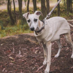Why you should get a whippet